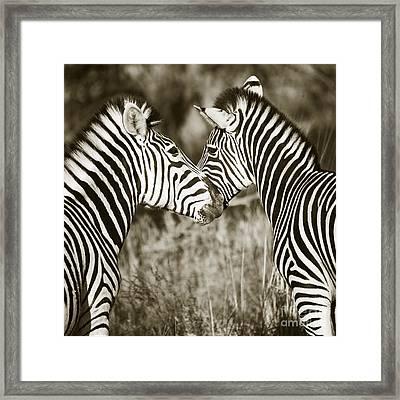 Framed Print featuring the photograph Zebra Affection by Liz Leyden