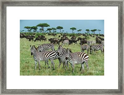 Zebra And Wildebeest Grazing Masai Mara Framed Print by Yva Momatiuk and John Eastcott
