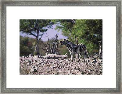 Zebra Braying Framed Print