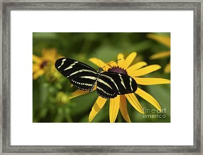 Zebra Butterfly Framed Print
