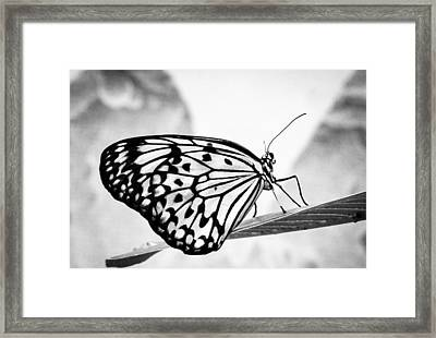 Zebra Butterfly Framed Print by Cathy Donohoue