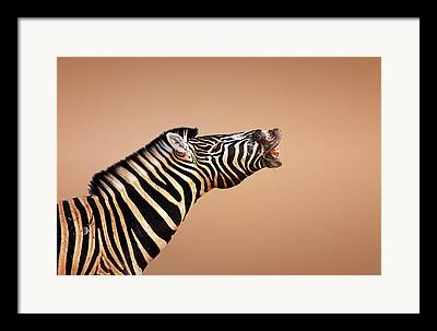Shouting Framed Prints