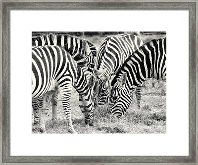 Zebra Dinner Time   Framed Print