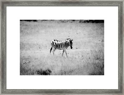 Zebra Explorer Framed Print by Melanie Lankford Photography