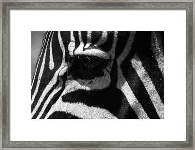 Zebra Eye Framed Print by Aidan Moran