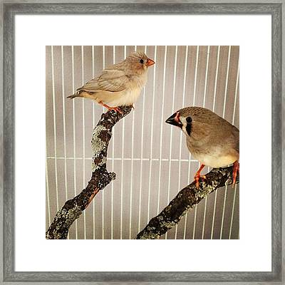 Zebra Finches Framed Print by Christy Beckwith