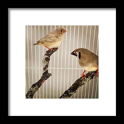 Finch Framed Prints