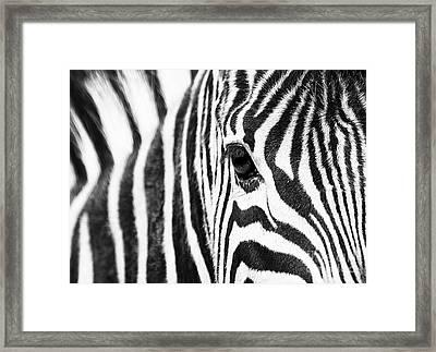 Zebra Gaze Framed Print