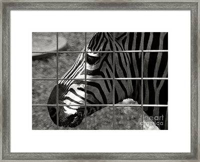 Framed Print featuring the photograph Zebra Grid by Tom Brickhouse