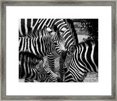 Framed Print featuring the photograph Zebra In A Crowd by Tom Brickhouse