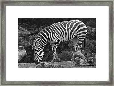 Framed Print featuring the photograph Zebra In Black And White by Kate Brown