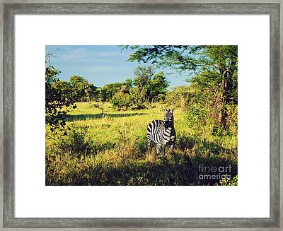 Zebra In Grass On African Savanna. Framed Print by Michal Bednarek