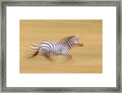 Zebra In Motion Kenya Africa Framed Print by Panoramic Images