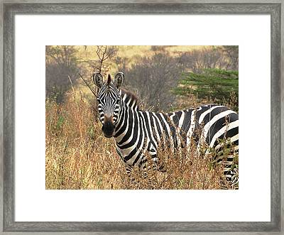 Framed Print featuring the photograph Zebra In Serengeti by Nature and Wildlife Photography