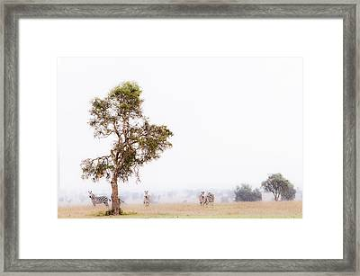 Zebra In The Mist Framed Print by Mike Gaudaur