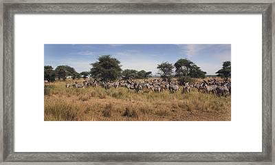 Framed Print featuring the photograph Zebra by Joseph G Holland