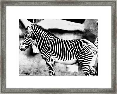 Framed Print featuring the photograph Zebra by Kristine Merc