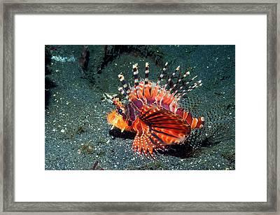 Zebra Lionfish Framed Print by Georgette Douwma