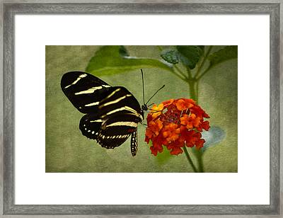 Zebra Longwing Framed Print by Ann Bridges
