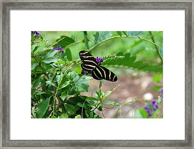 Zebra Longwing Butterfly Floral Framed Print by Aimee L Maher Photography and Art Visit ALMGallerydotcom