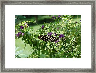 Zebra Longwing Butterfly On Flower Framed Print by Aimee L Maher Photography and Art Visit ALMGallerydotcom