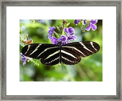 Zebra Longwing Framed Print by Krista Keck
