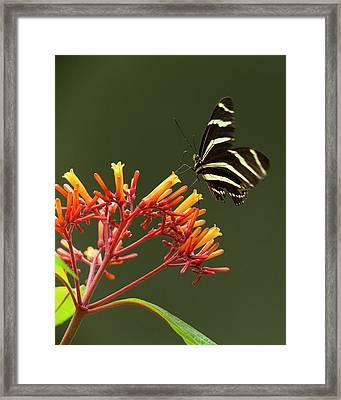 Zebra Longwing On Fire Bush Flowers Framed Print by Maresa Pryor