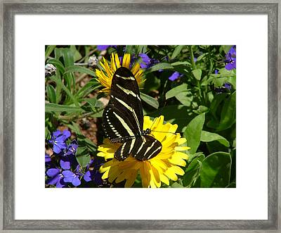 Zebra Longwing On Yellow With Purple Flowers - 103 Framed Print
