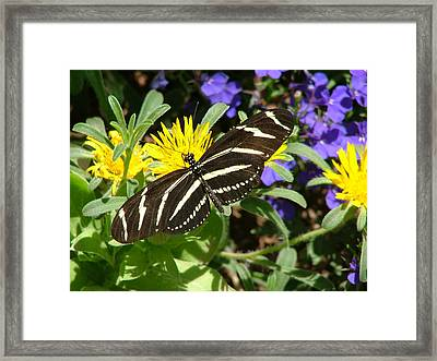 Zebra Longwing On Yellow With Purple Flowers - 104 Framed Print