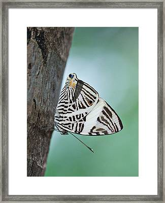 Framed Print featuring the photograph Zebra Mosiac Butterfly by Zoe Ferrie