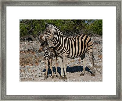 Zebra Mother And Baby Framed Print