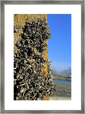 Zebra Mussels Framed Print by Jim West