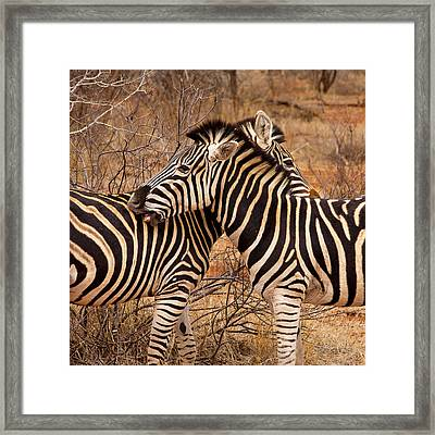 Framed Print featuring the photograph Zebra Pair by Phil Stone