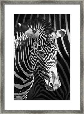 Zebra Photograph With Zebra Patterned Background Framed Print