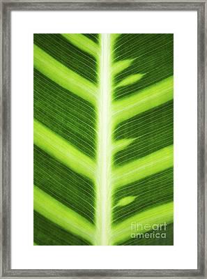 Zebra Plant Leaf Pattern Framed Print by Tim Gainey