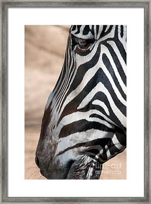 Zebra Profile Framed Print by Dan Holm
