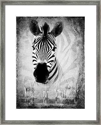Zebra Profile In Bw Framed Print by Ronel Broderick
