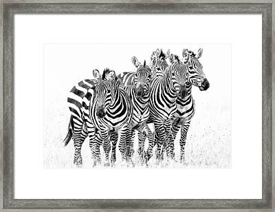 Zebra Quintet Framed Print by Mike Gaudaur