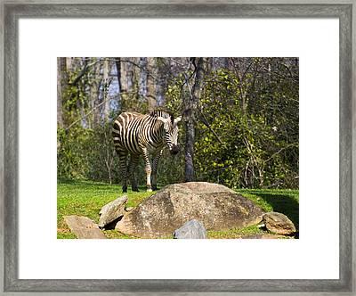 Zebra Rock Framed Print by Chris Flees