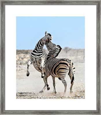 Zebra Stallions Fighting In Etosha Np Framed Print by Peter Delaney