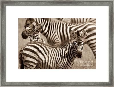 Zebra Stripes Galore Framed Print