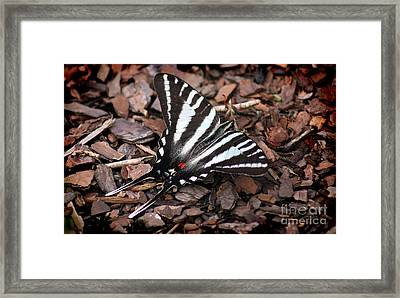 Zebra Swallowtail Butterfly Framed Print