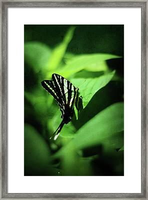 Zebra Swallowtail Butterfly Framed Print by Rebecca Sherman