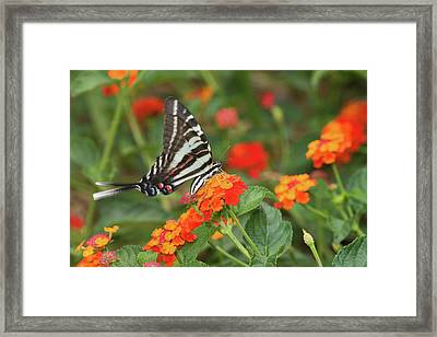 Zebra Swallowtail Eurytides Marcellus Framed Print by Panoramic Images
