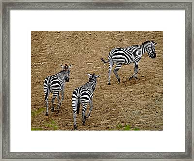 Framed Print featuring the photograph Zebra Tails by AJ  Schibig