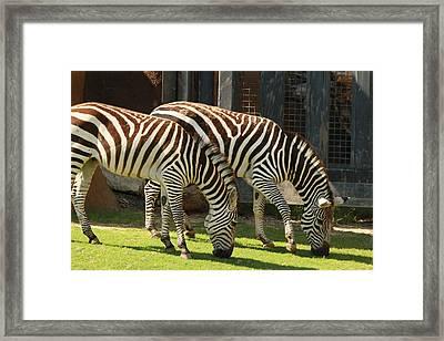 Zebra Framed Print by Tinjoe Mbugus