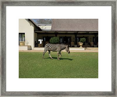 Zebra Walking Across Grass At Royal Framed Print by Panoramic Images