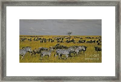 Zebras And Wildebeast   #0861 Framed Print