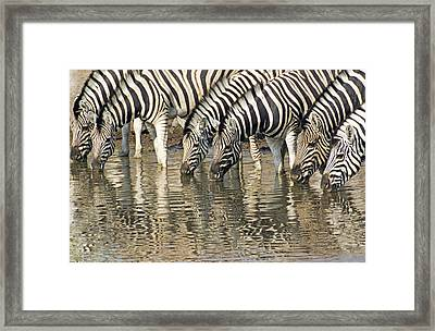 Framed Print featuring the photograph Zebras At Water Hole by Dennis Cox WorldViews