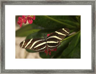 Framed Print featuring the photograph Zebras Can Fly by Sandy Molinaro